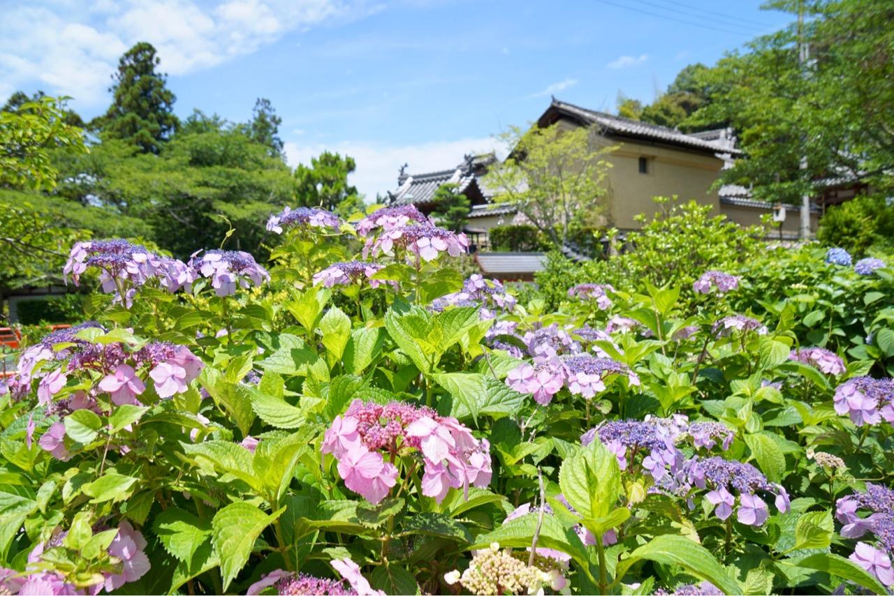 伽藍のすぐそば、というわけではなく道路沿いなどにたくさん咲いています。