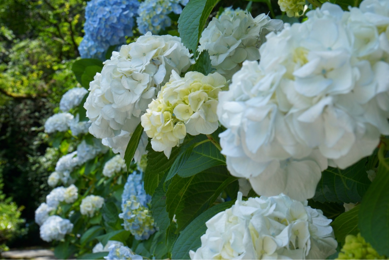 白い紫陽花素敵ですね。