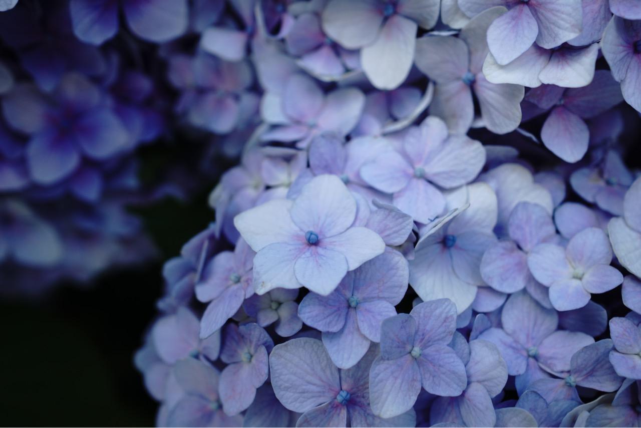 薄い色の紫陽花は神秘的ですね。