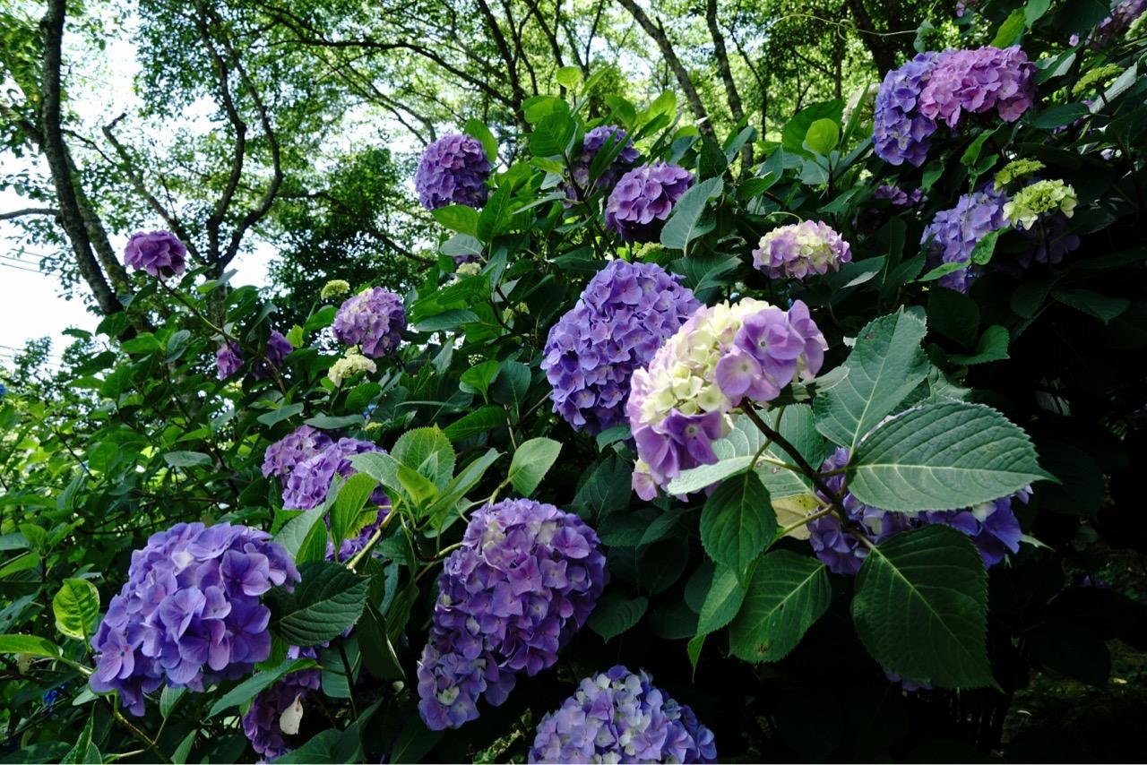 紫陽花というだけあって紫が一番写真写りがいいです。
