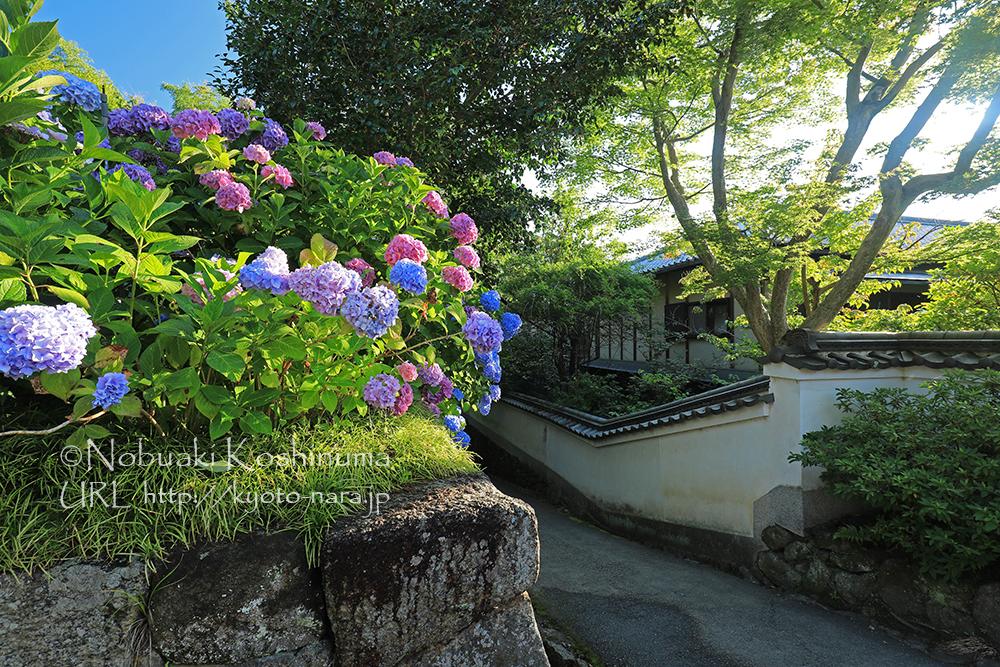 色とりどりのアジサイの花が咲き誇ります。