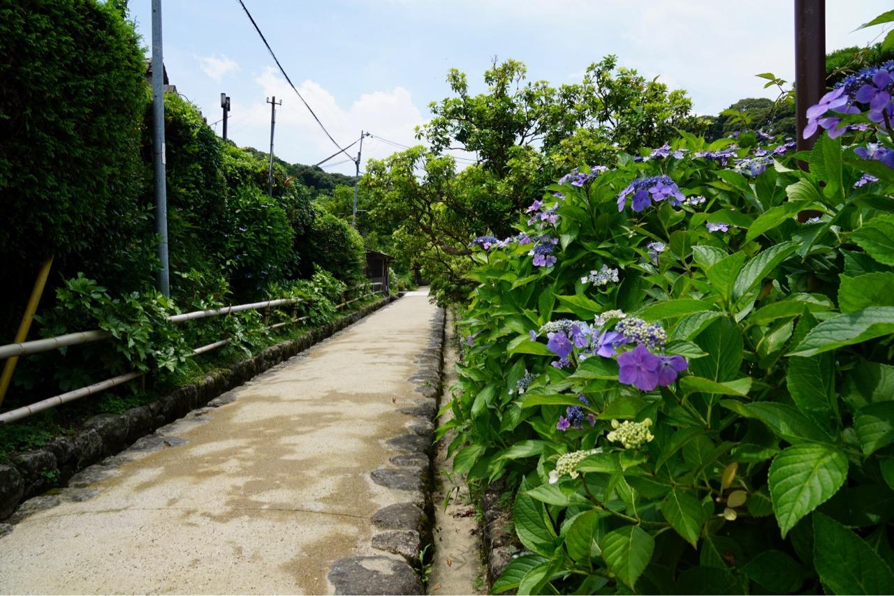 参道には紫陽花が。