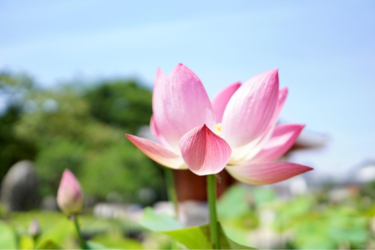 今年も喜光寺の蓮の季節がきました!