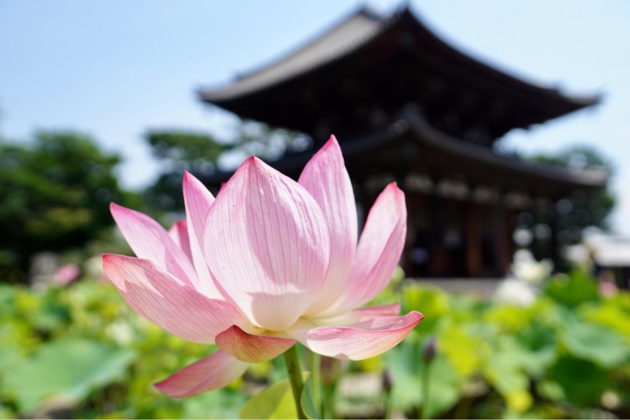 本堂と蓮の花 フォトコンテストも開催されます。