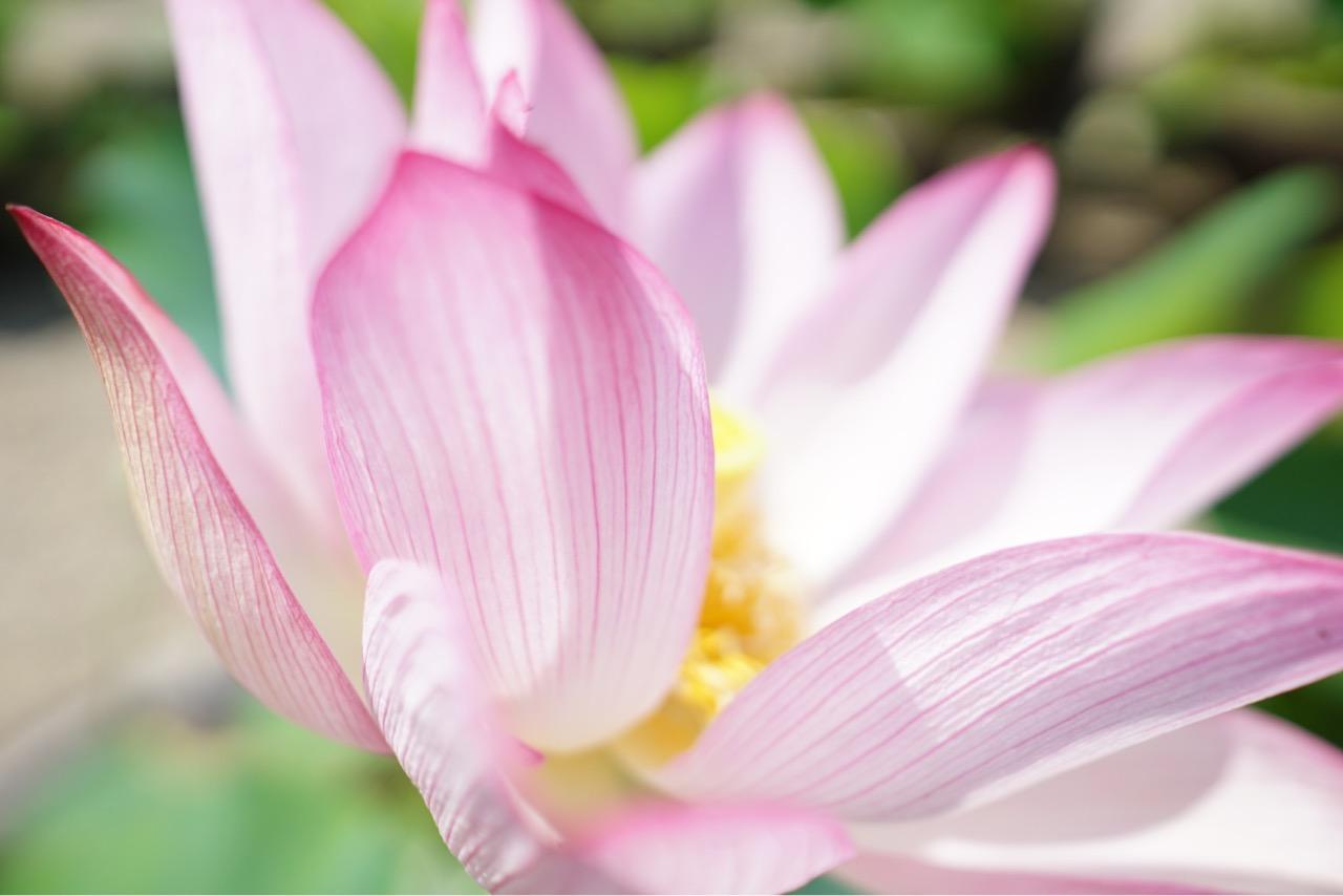 お地蔵様の前にたくさんの蓮の花が。