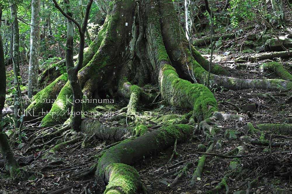 10m近く露出したヘビのように太い根っこ。生きる力を感じます。