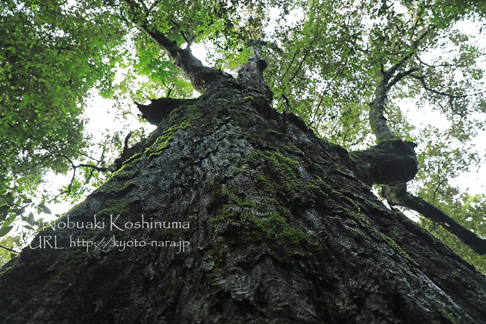 大木の樹皮に自生する苔。