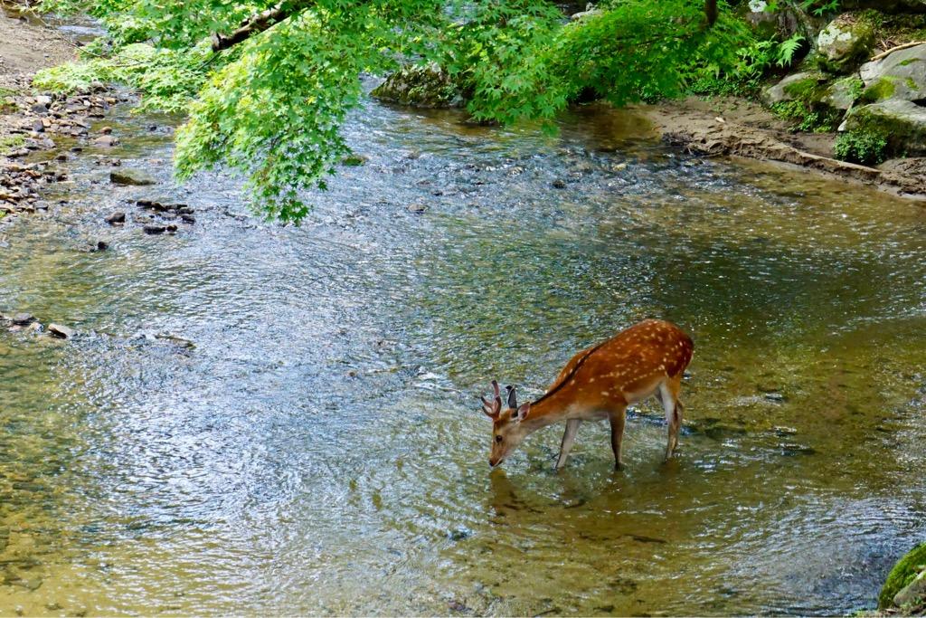 東大寺のそばの川では鹿がのんびり。