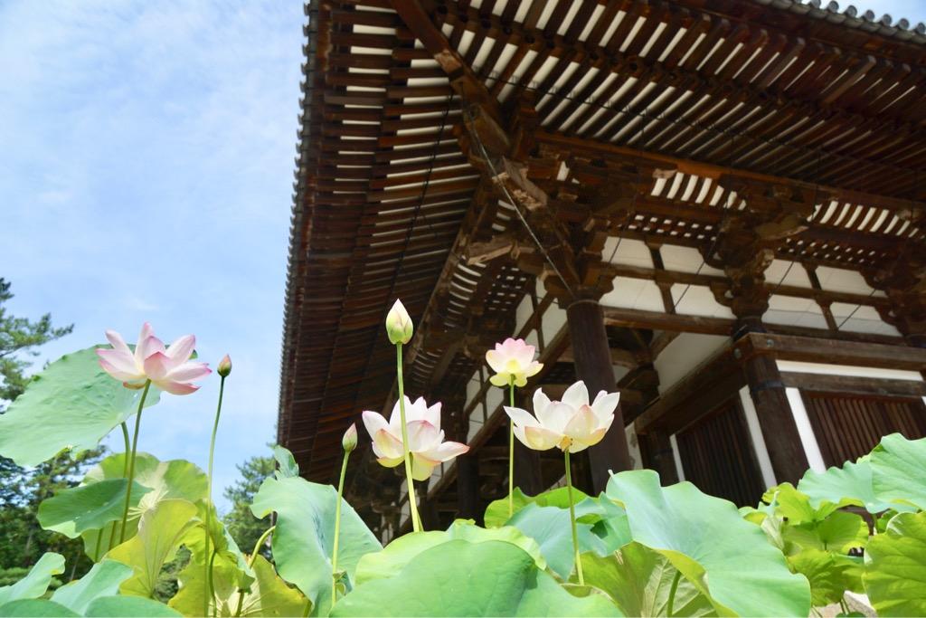 金堂の前にも蓮の花が。金堂があまりにも大きすぎてお花が小さく見えます。。。