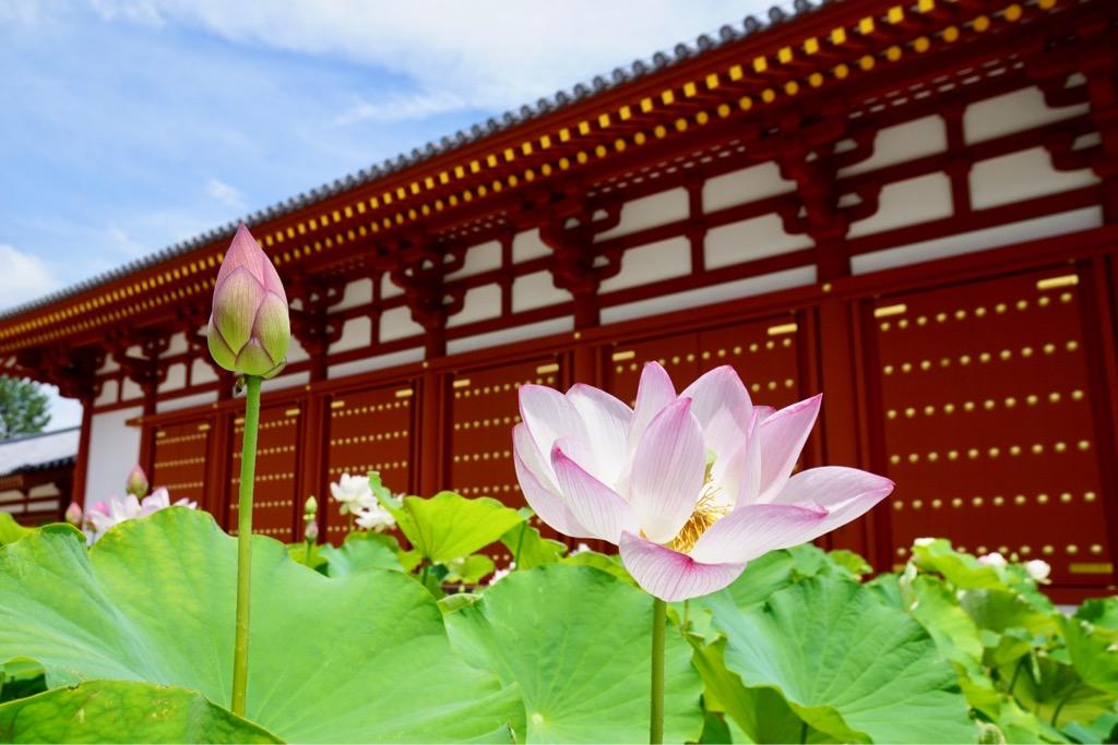 薬師寺の蓮 5月に完成したばかりの食堂の前に蓮の鉢がたくさん並べられています。