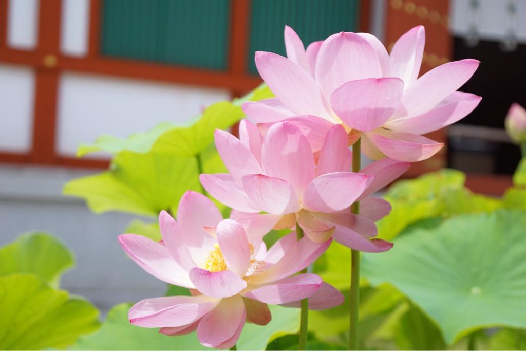 3つの蓮の花が階段状にビッタリひっついて咲いていてとても珍しいです!