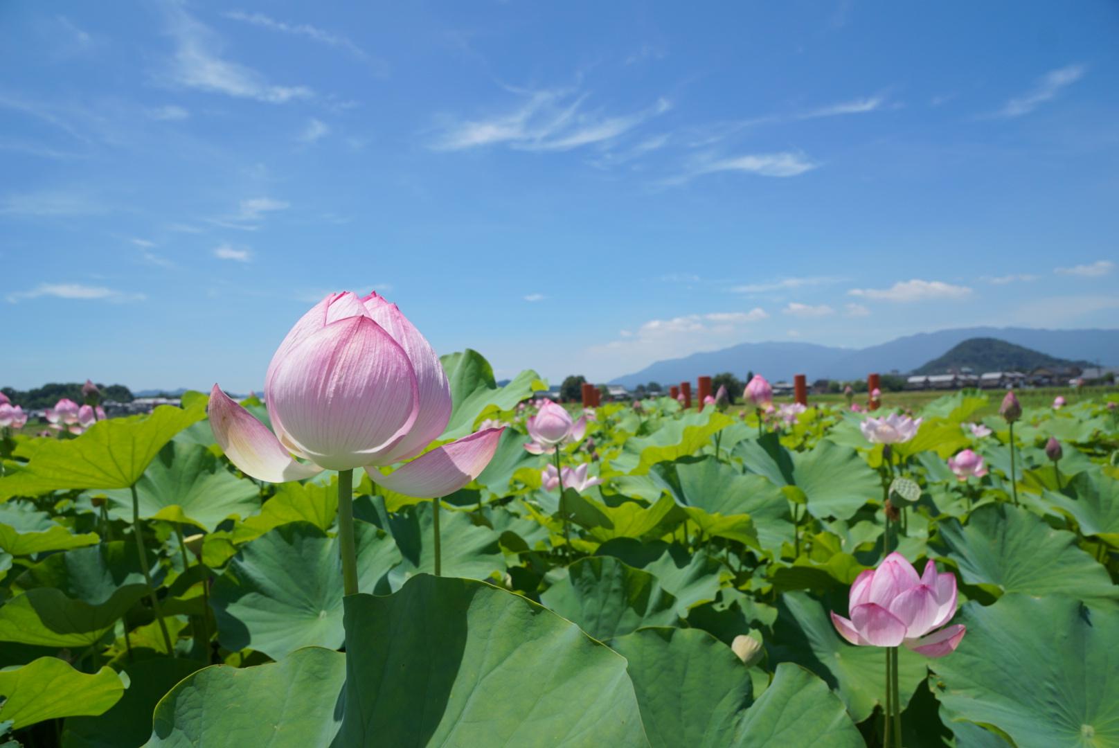 大和三山を望むことができ本当に綺麗なところです。