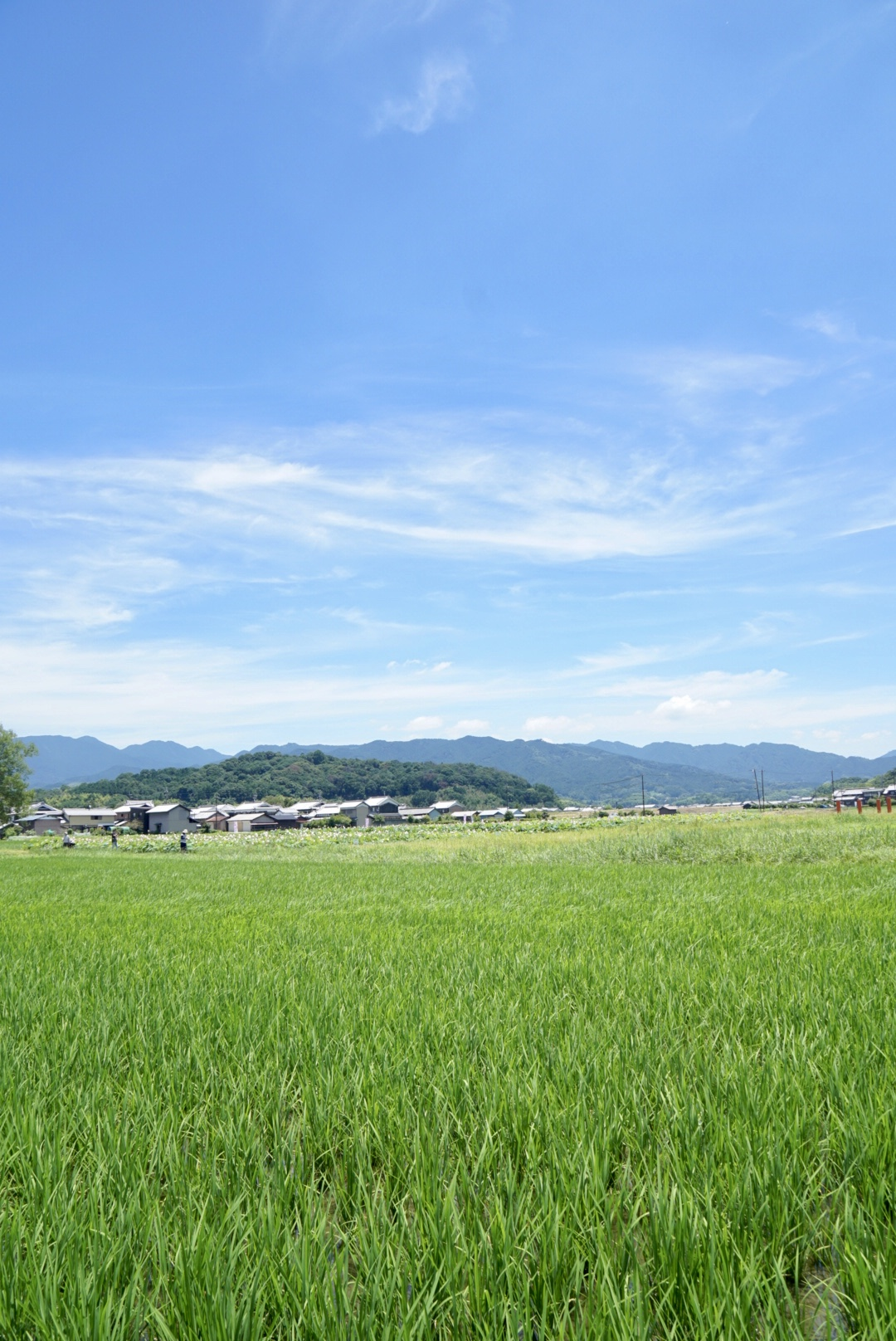 稲もぐんぐん育ってきていて青空とのコントラストが最高ですね。