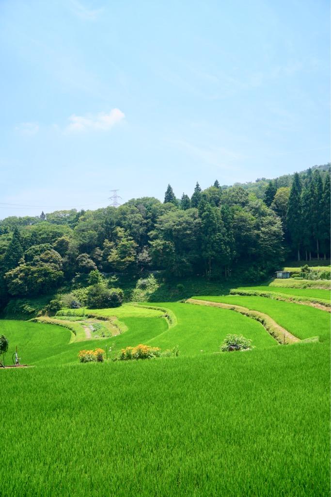生駒大社の火祭りに使われる松明用の藁はここで栽培されているんですね。