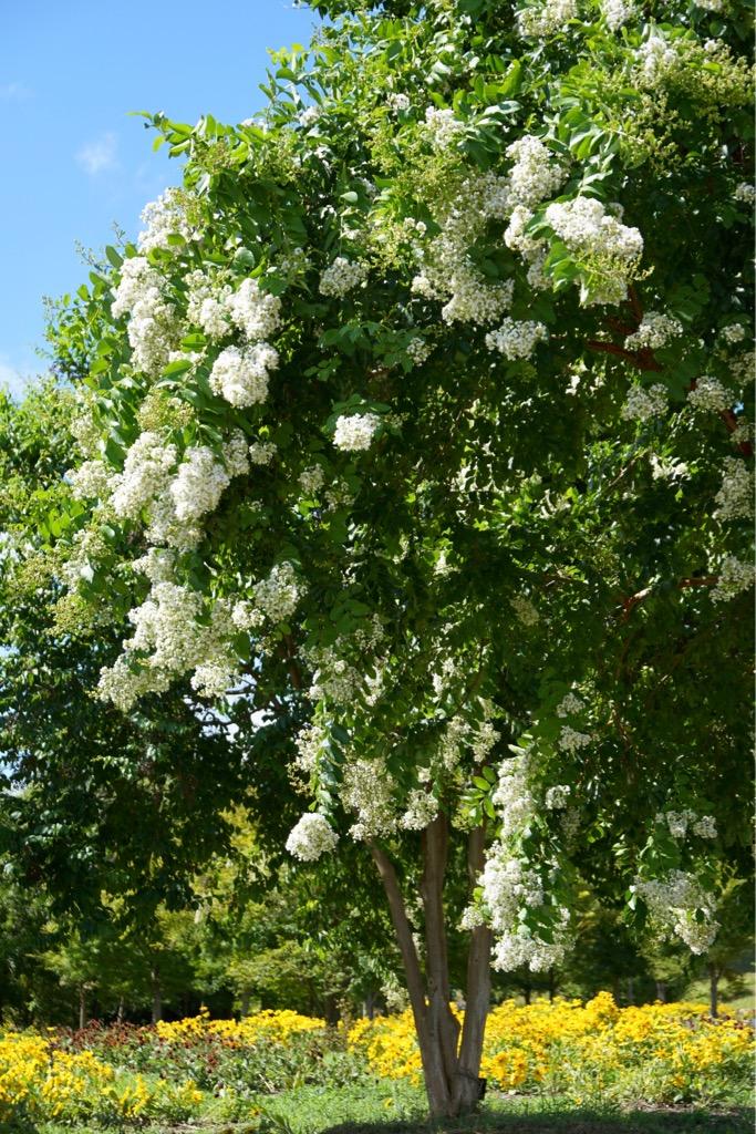 サルスベリの木 とても大きくていっぱい花が咲いてとても素敵でした。