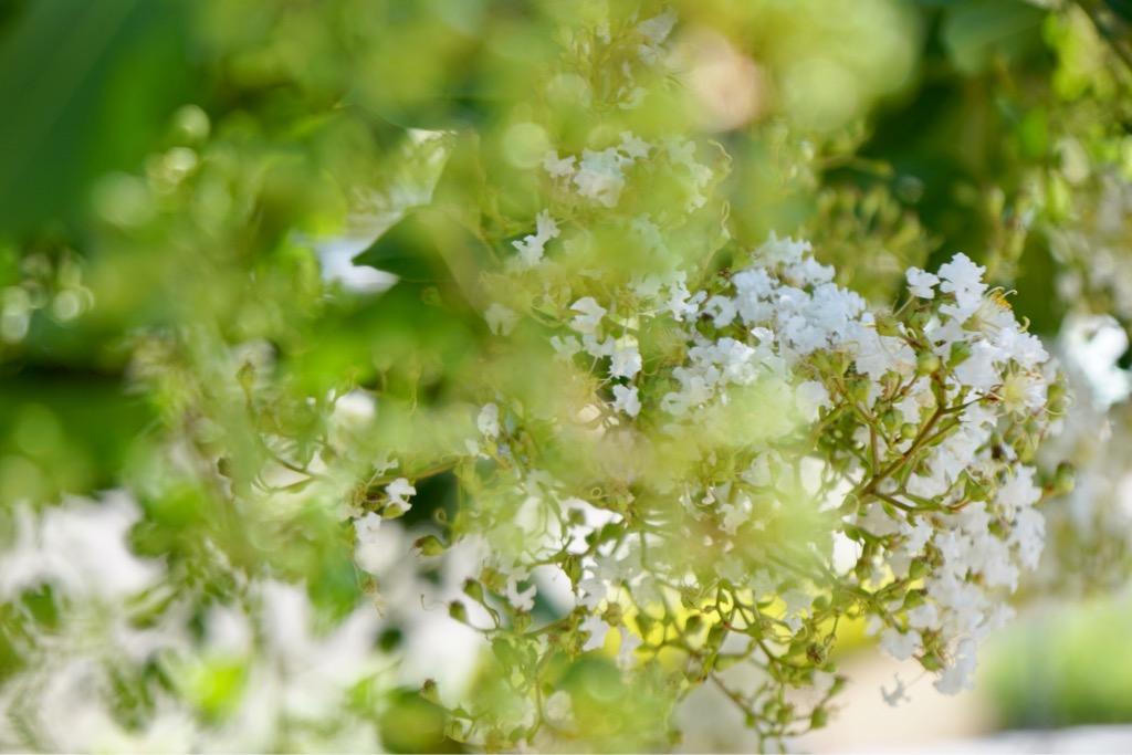 サルスベリの花 風に揺れ姿はとても豪華で綺麗でした。