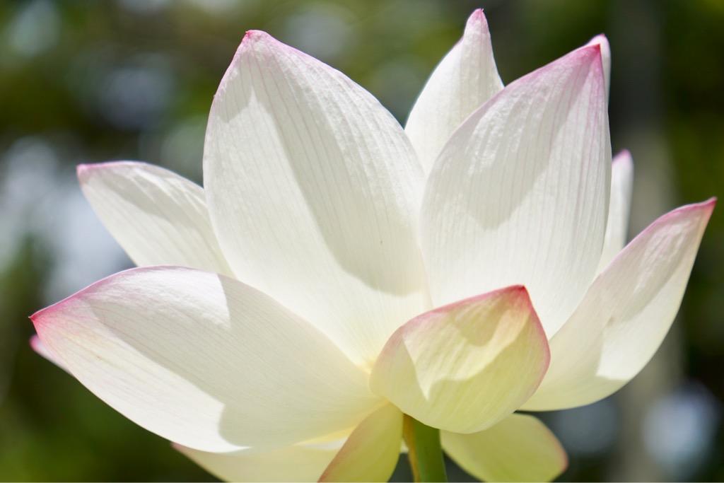 唐招提寺の蓮の花はとても大きくて美しくて素晴らしいです。