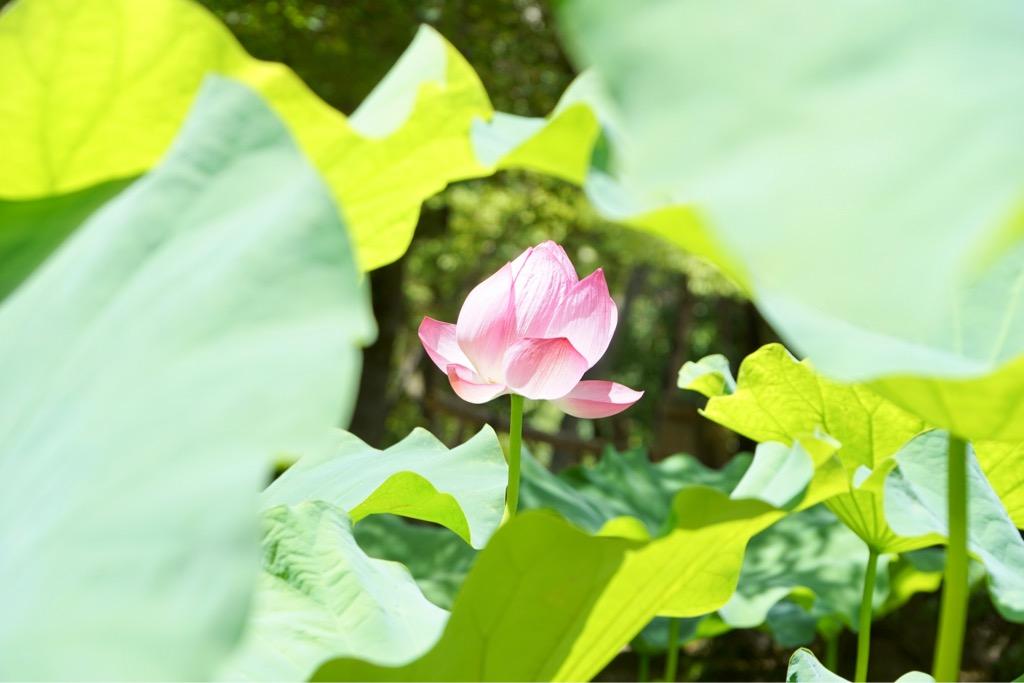 蓮池で咲いていたのはこれだけでした。