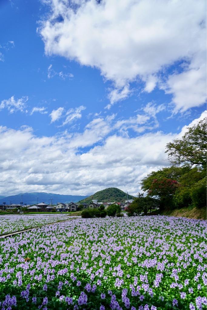 正面の山は大和三山の1つ畝傍山です。