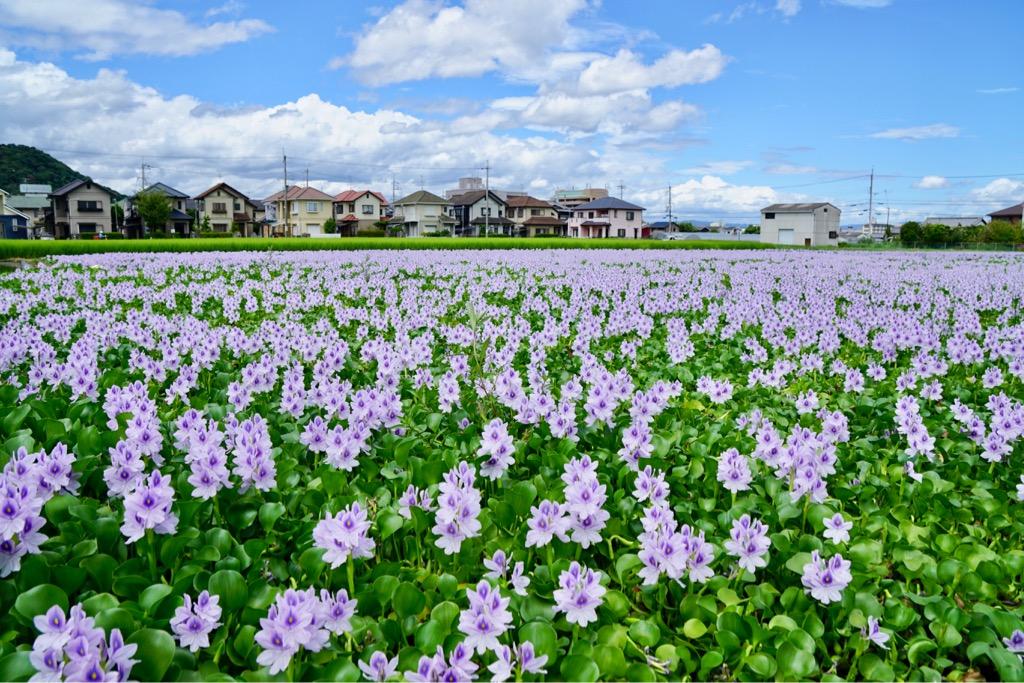 青空と一面のホテイアオイが素晴らしく、またそばには水田も広がり絶景です。