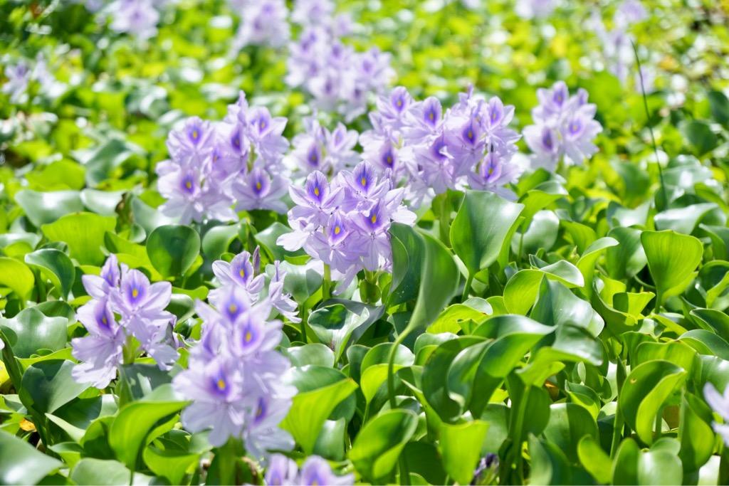 ホテイアオイは外側に向かって花が咲くのでどこから見ても正面のように見えて華やかです。