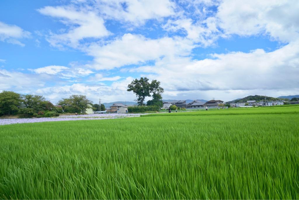 水田の緑も美しくてのどかな光景です。