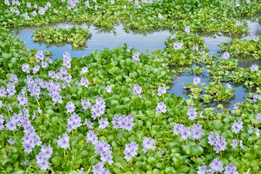 一面にびっしり咲いているのも壮観ですが、水辺に咲いている姿もとてもいい感じでした。