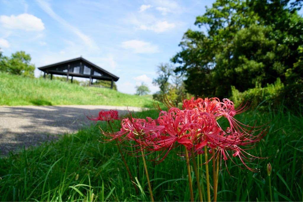 曼珠沙華とも呼ばれます。「天界の花」という意味だそうです。雰囲気ありますね。