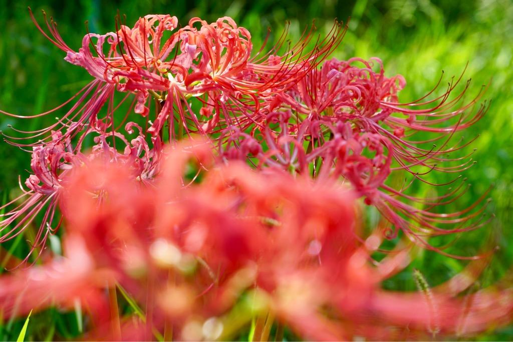 少し色あせているような気もしました。秋のイメージですが8月に咲くんですね。