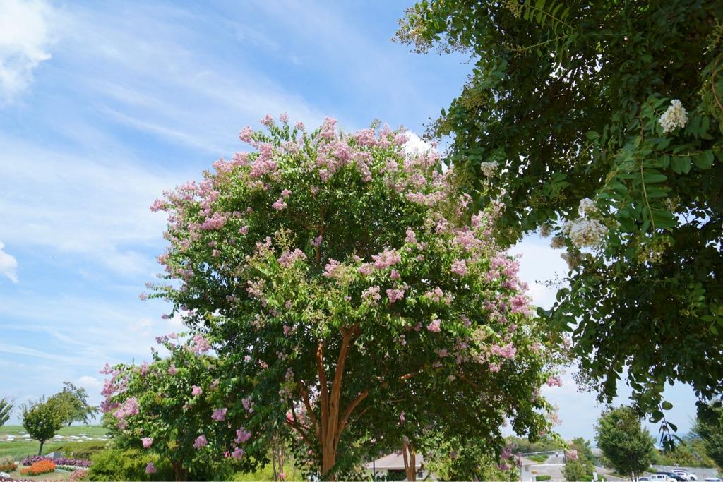 サルスベリの花も満開で素晴らしいです。