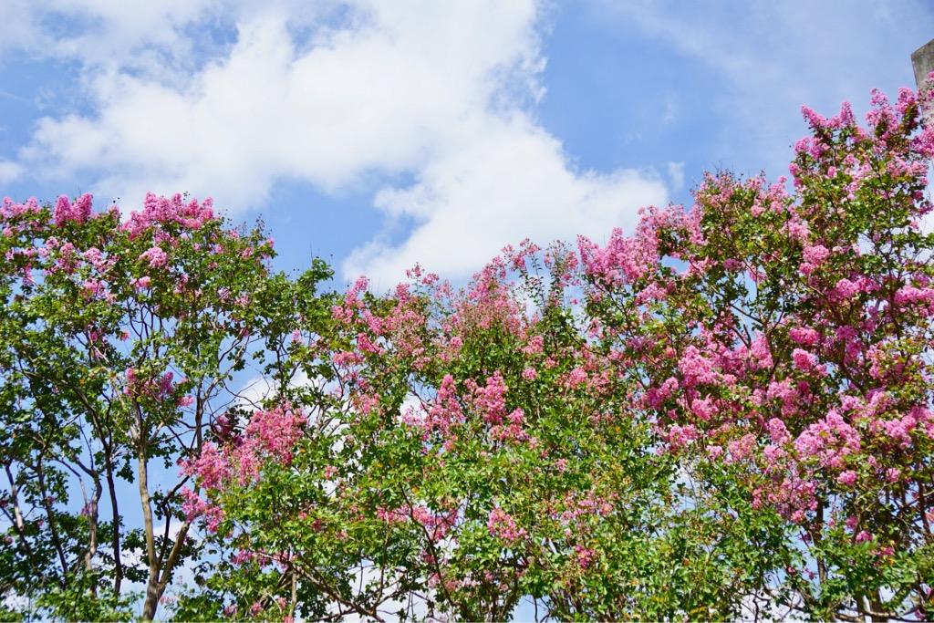 1本1本がとても大きく花が多いので本当に綺麗です。白、赤、ピンクの花が咲き誇っています。