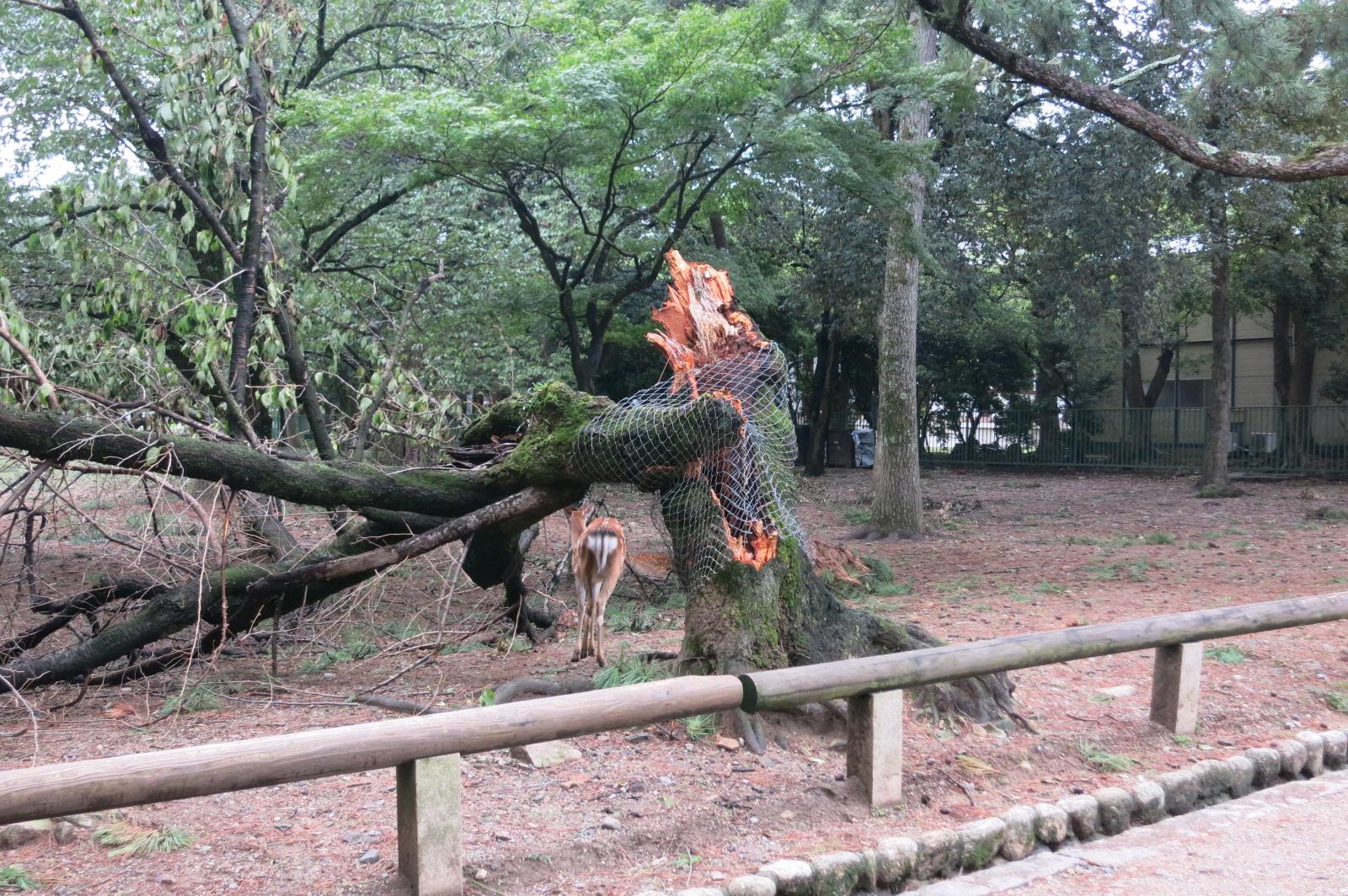 奈良公園では、先日の台風で折れてしまったと思われる木々たちの姿がありました。すごい威力…