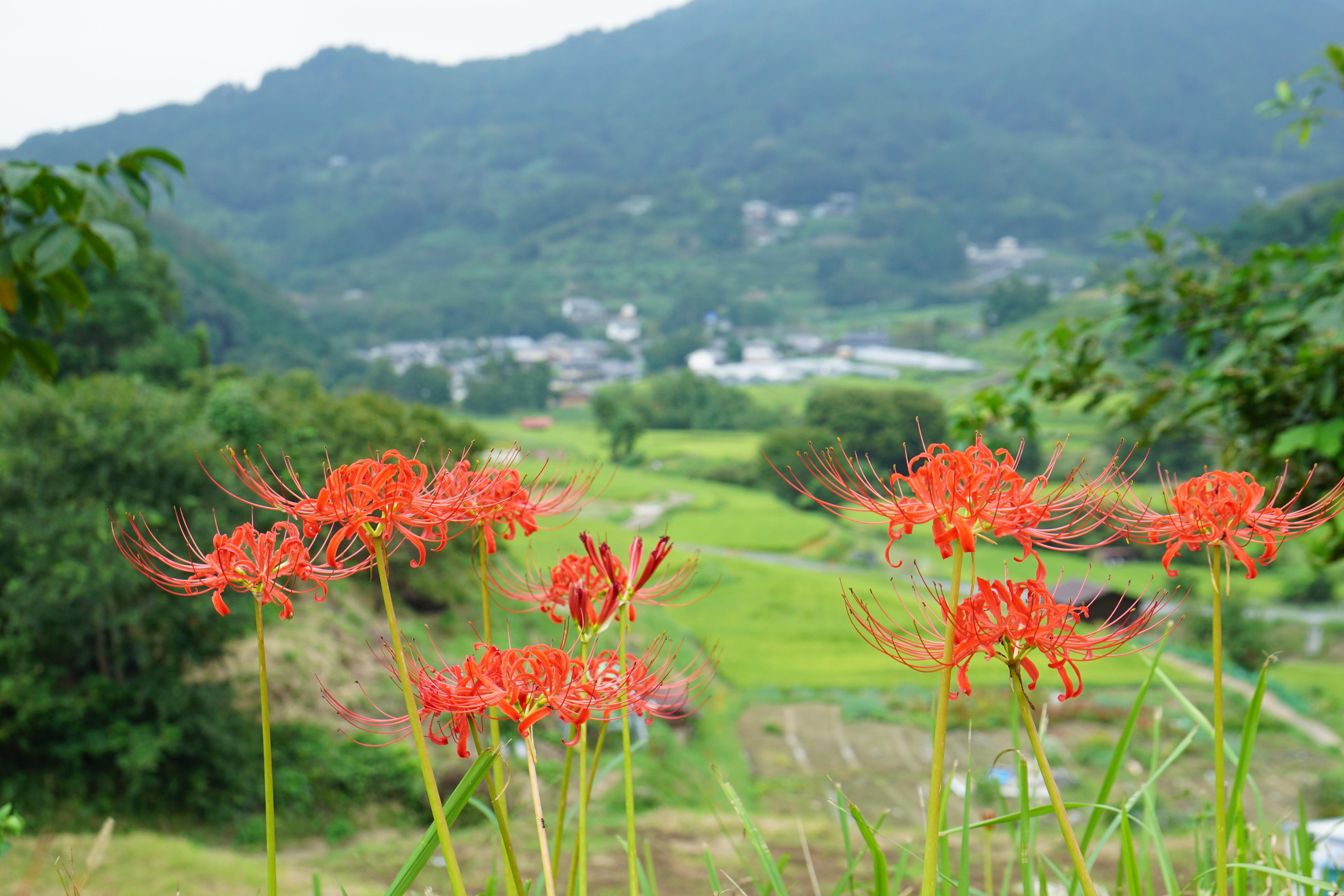 案山子ロード開催中で賑わってました。田んぼと彼岸花がとても綺麗でした。
