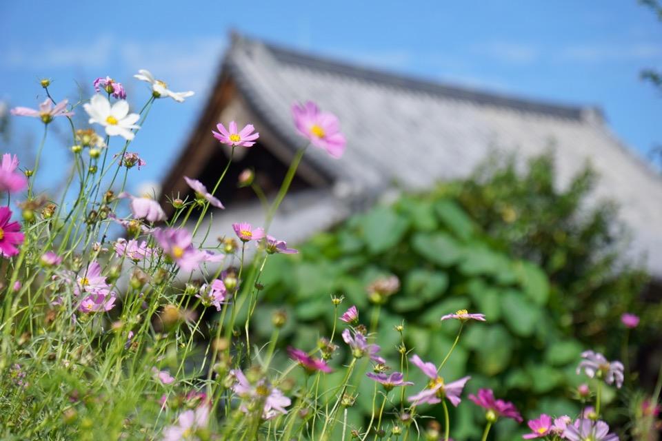 コスモスも咲き始めて可憐でとても美しいですよ。