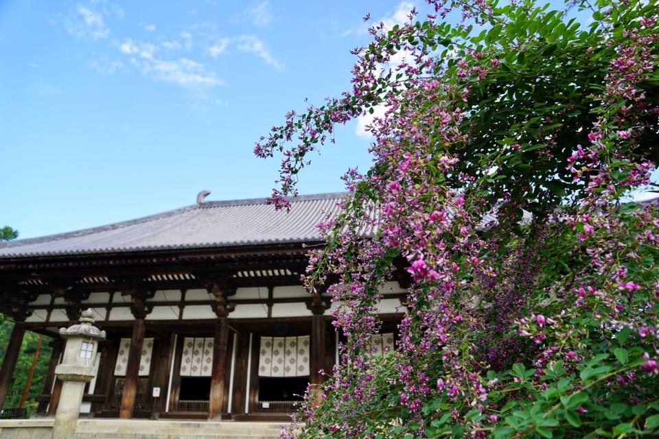 唐招提寺の萩がとても綺麗です。