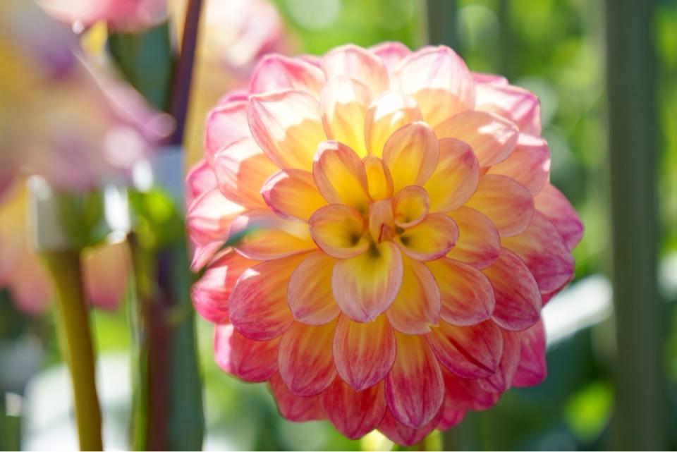 ダリアの花 華やかでとても綺麗です。