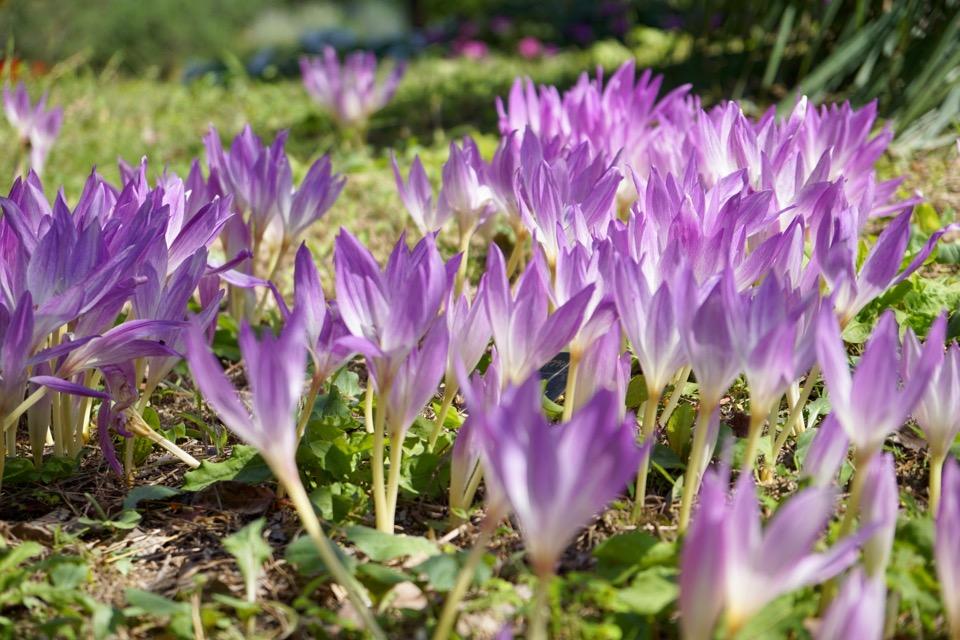 コルチカム 球根から花が咲きます。地面に花が広がり不思議な光景です。