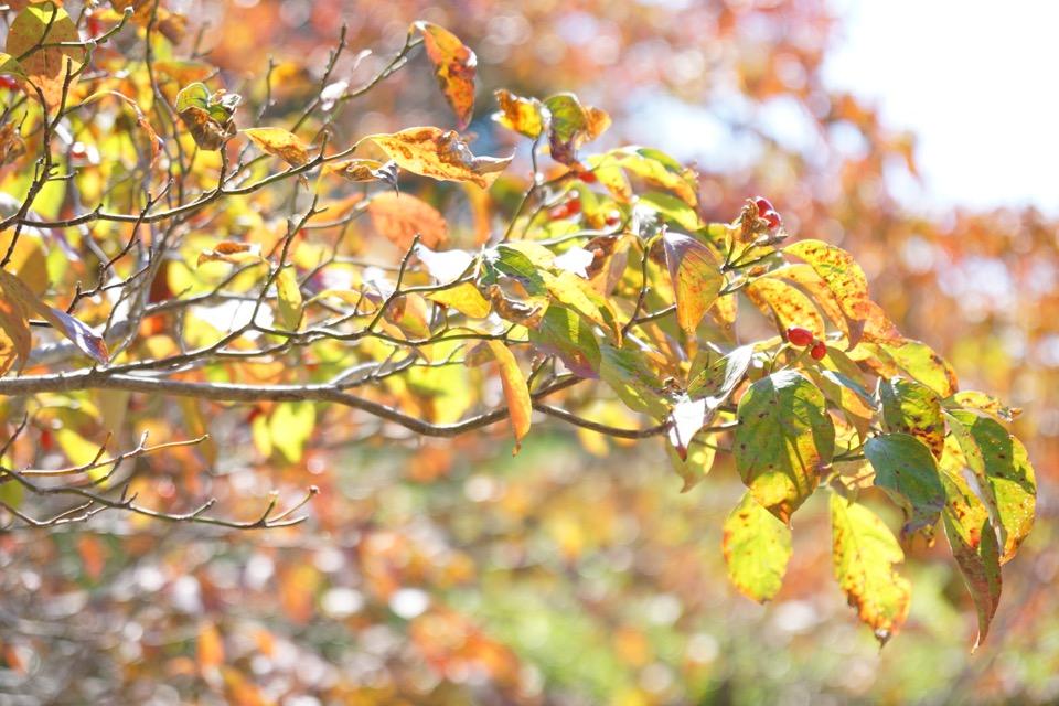 ハナミズキ。紅葉が素晴らしかったです。赤い実ができるんですね。
