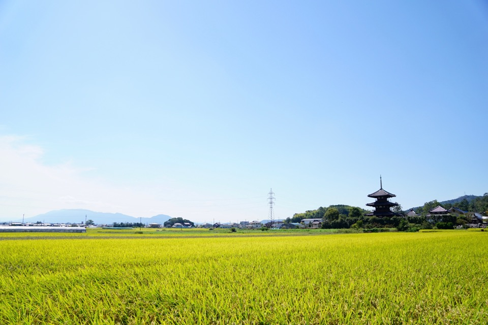 車で30分で法起寺に着きます。黄金に輝く稲穂と世界遺産の三重塔。すばらしい景色です。