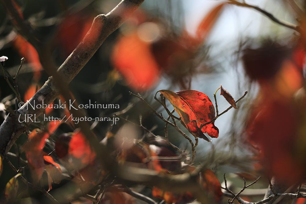 色づいたハナミズキの葉もきれいですね。赤い実をつけてました。