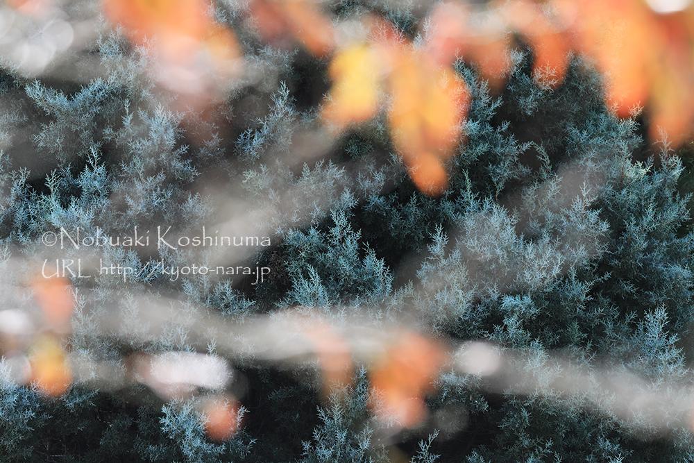 美しい青い葉を持つ杉の一種。