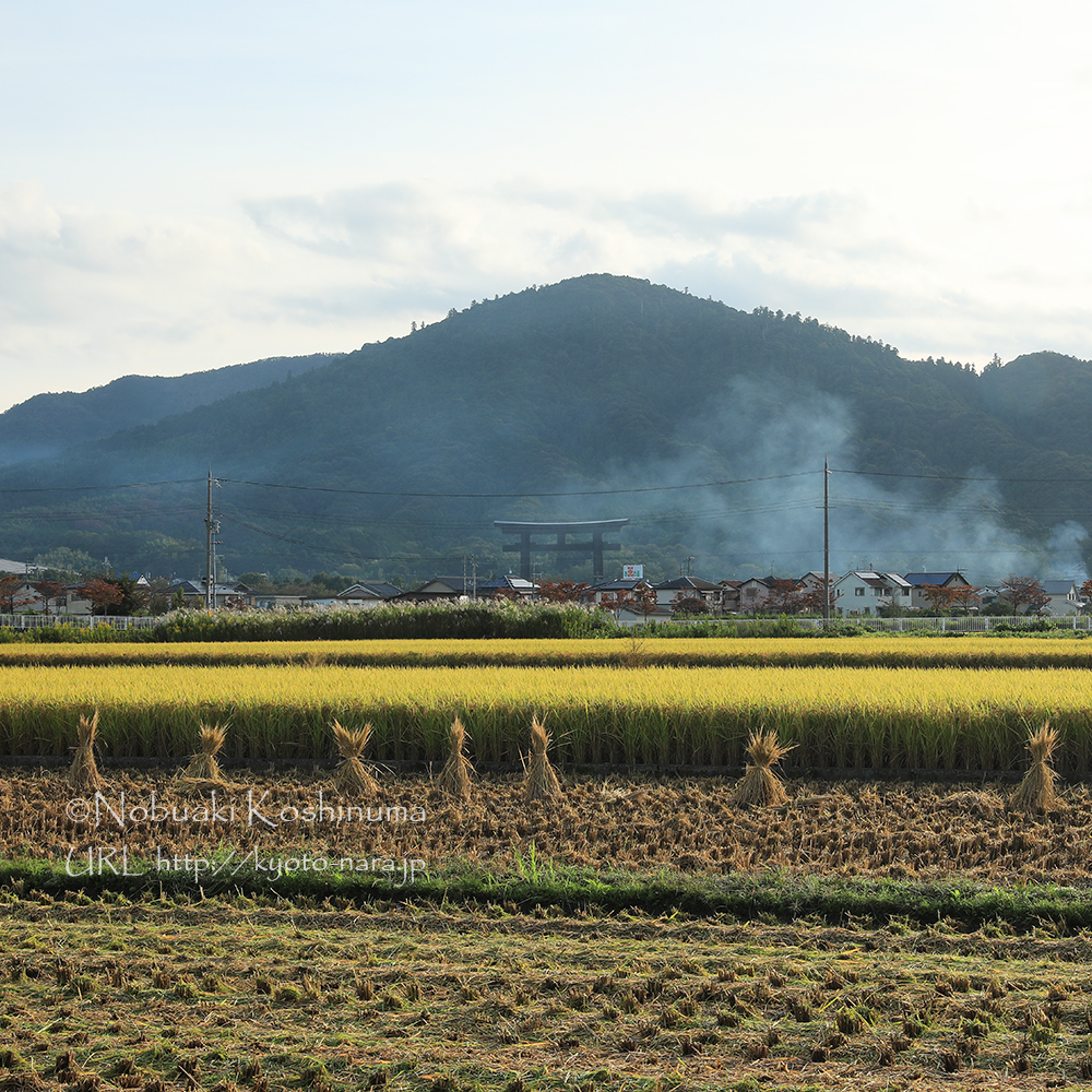 奥に見える山が三輪山で大神神社の神体山。お米の収穫も半分くらい終わっていました。