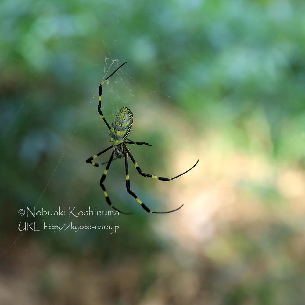 ジョロウグモがたくさん。気づかずに歩いていると顔にクモの巣が・・・。
