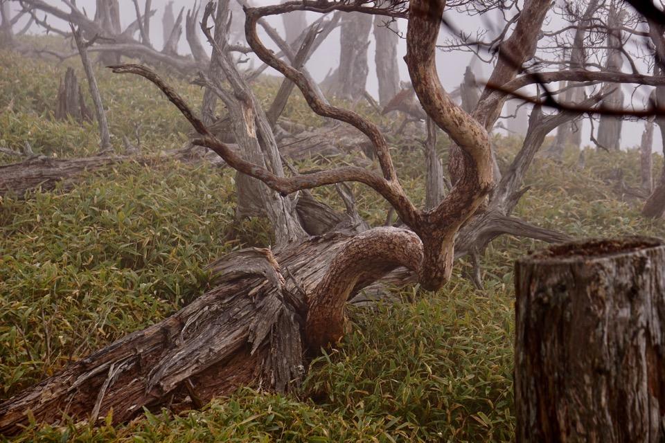 正木峠は伊勢湾台風の倒木が広がるところですが、この通り幻想的です。