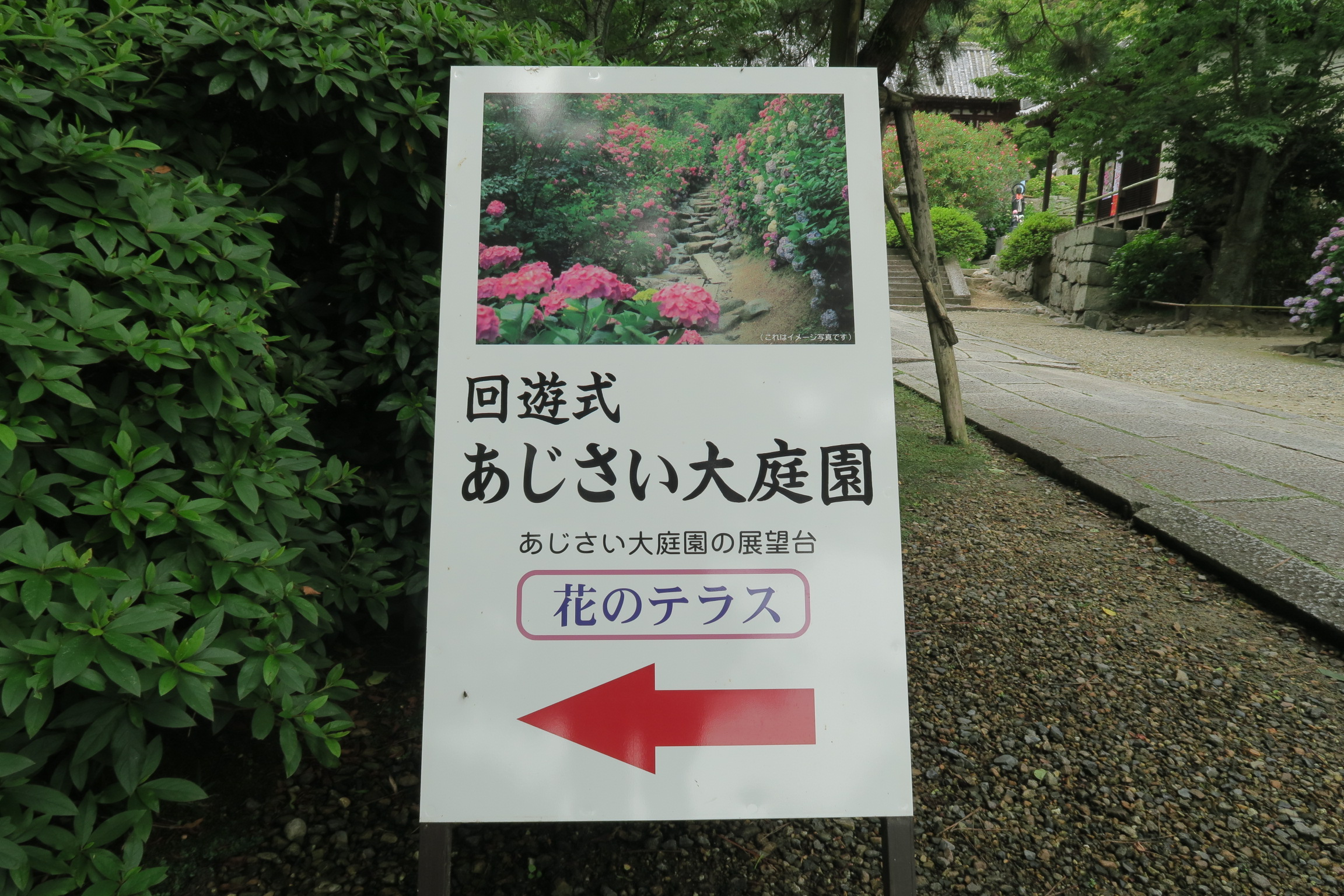 あじさい大庭園。境内には約10,000株、約60種のアジサイが植えられています。