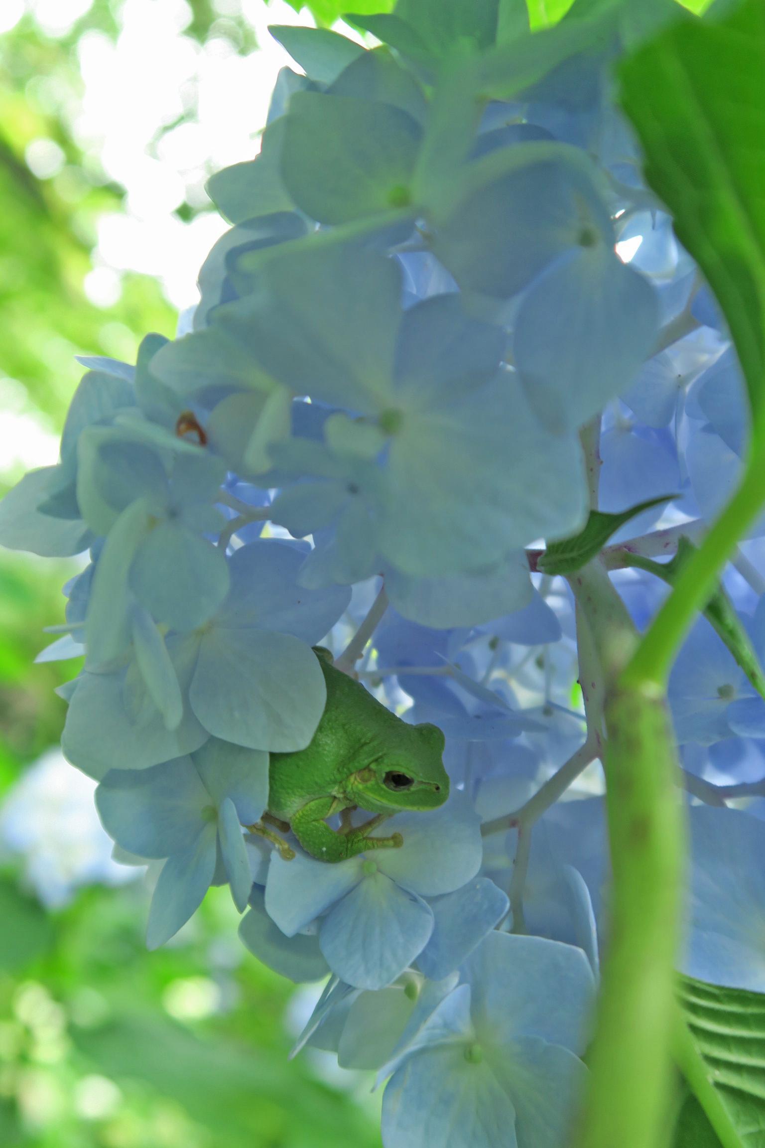 アジサイの花の中にカエルがいました。ちょっと太りぎみのような感じ。確かにエサは豊富かも・・・。