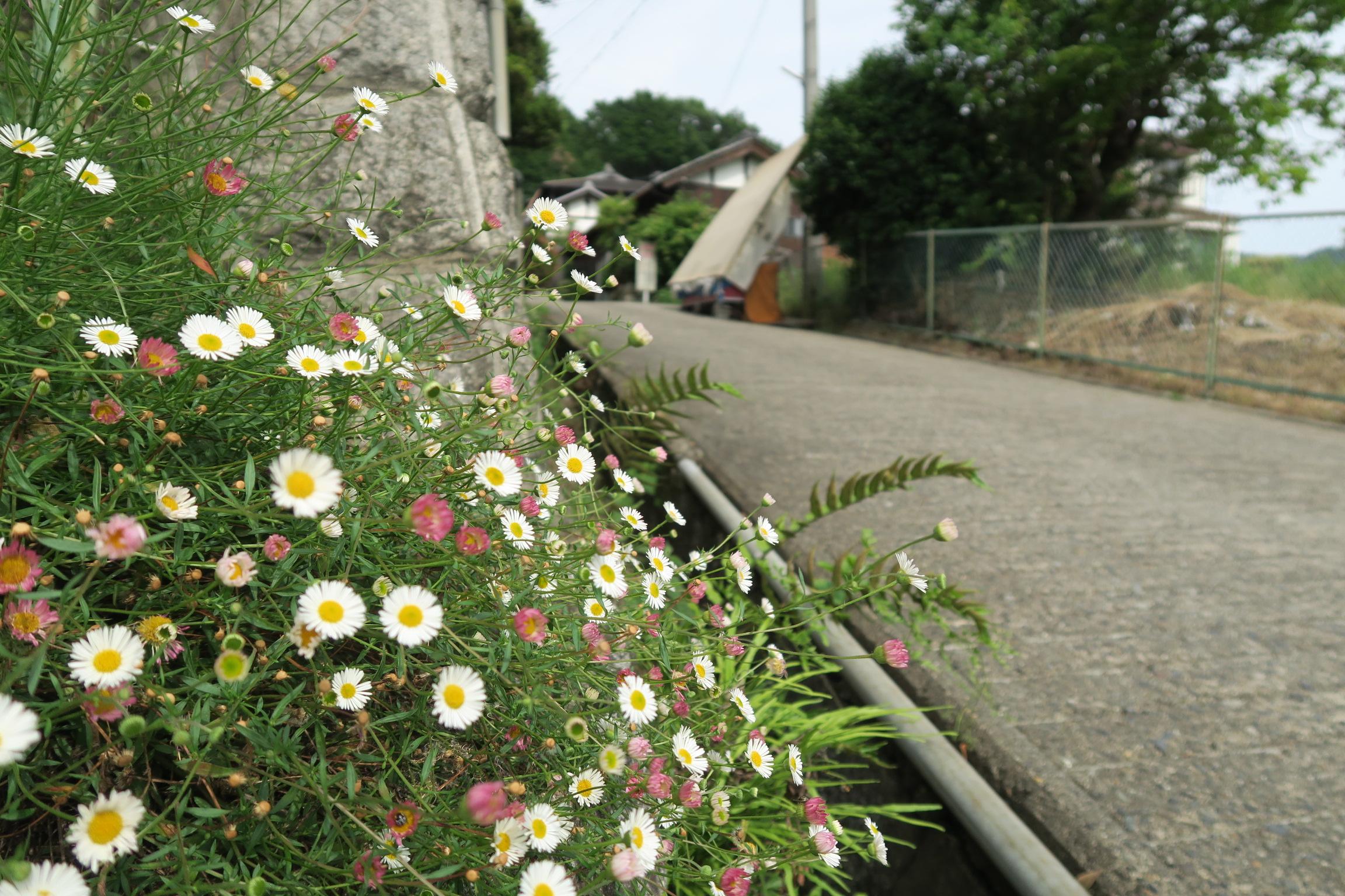 道端にもかわいい花が咲いています。