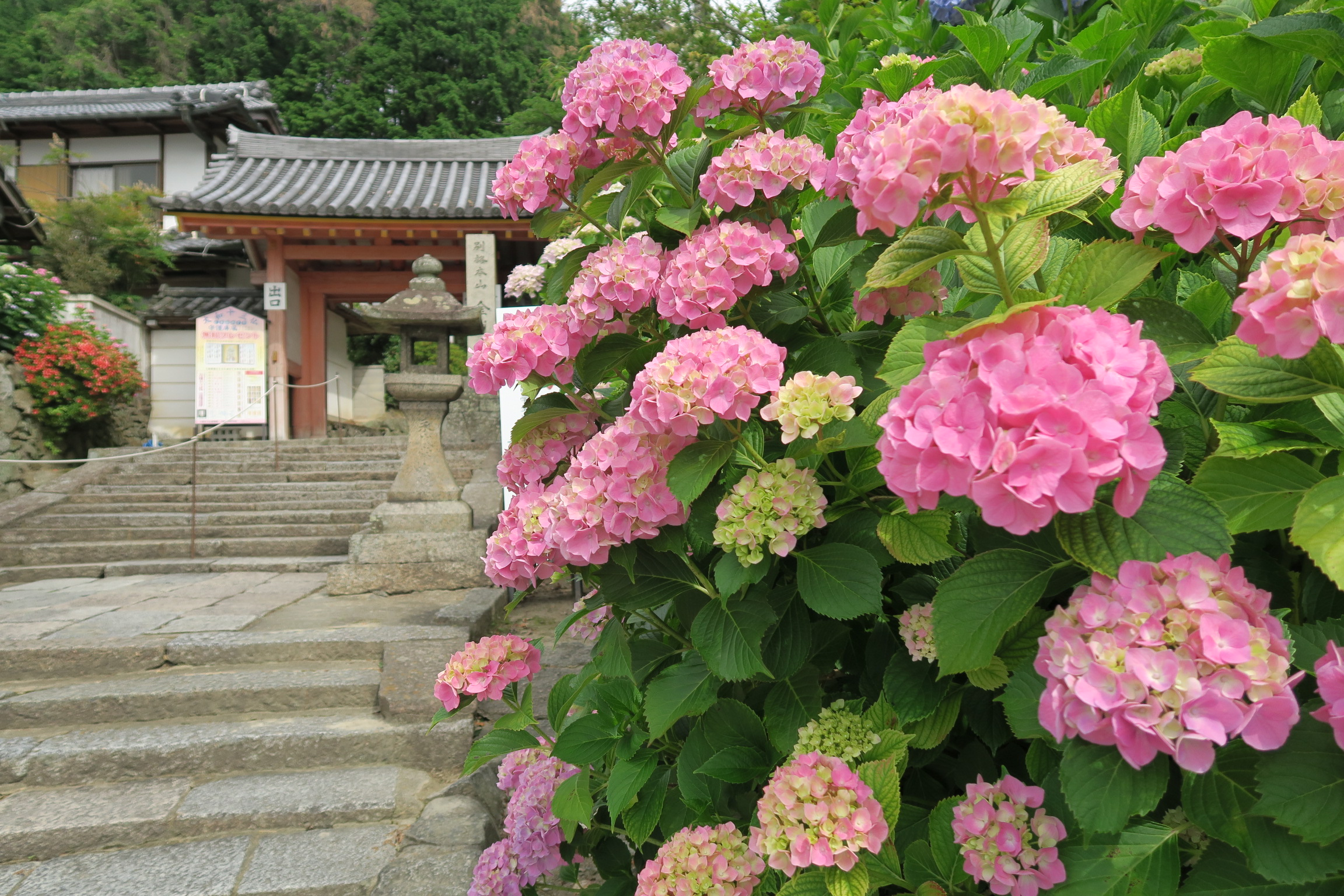 矢田寺の門前の紫陽花はいい感じに色付いていました。