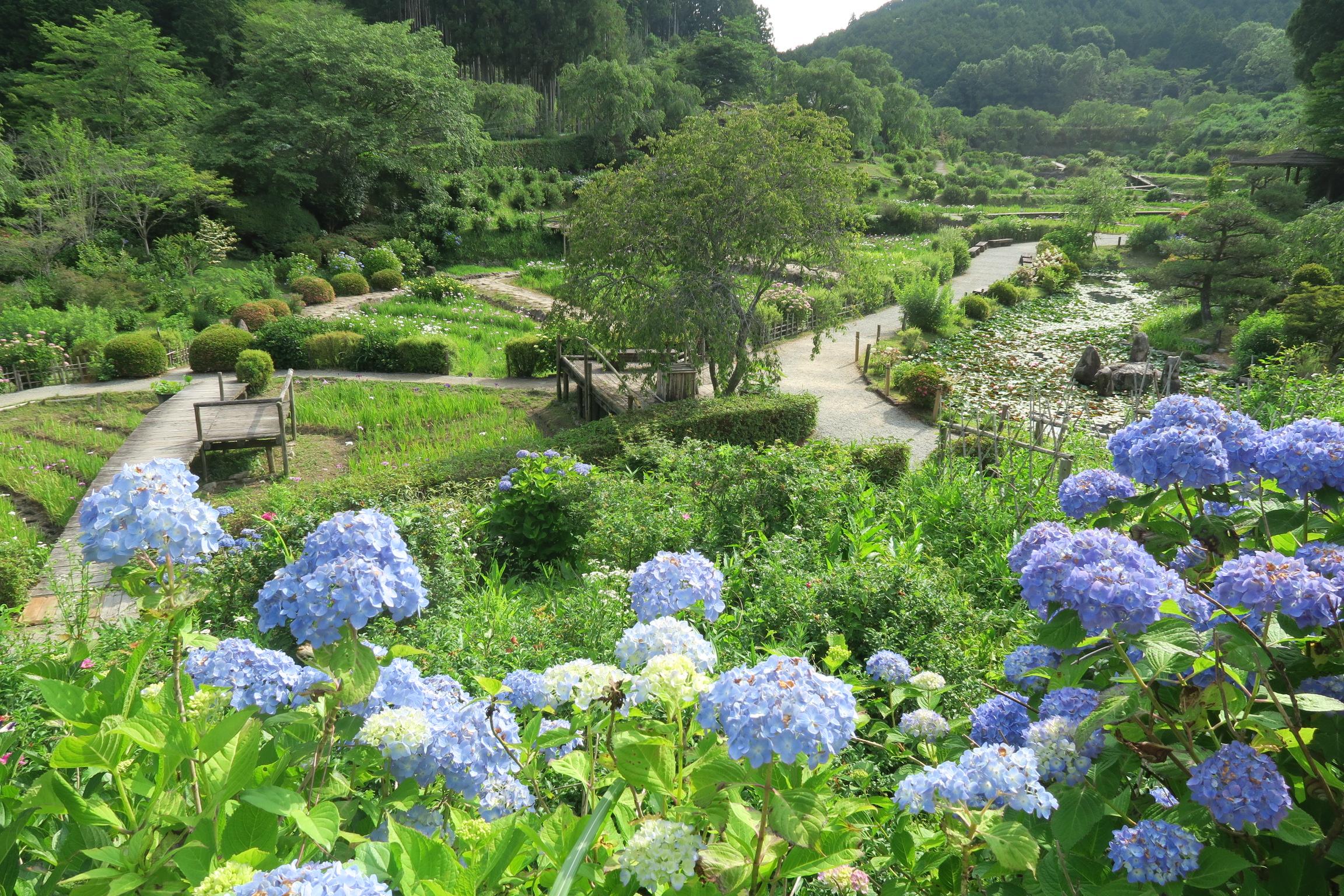 園内に咲くアジサイ。 右手奥の方まで続きます!