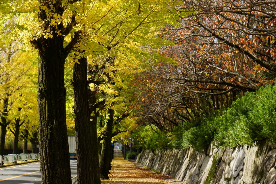 天理の銀杏並木が黄葉し、とても綺麗です。